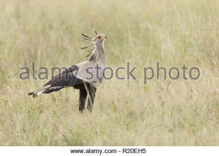 Secretary Bird (Sagittarius serpentarius), Savuti, Botswana, Africa - Stock Photo