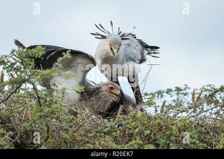 Secretary Bird (Sagittarius serpentarius) feeding young at nest, Savuti, Botswana, Africa - Stock Photo