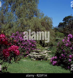 Mauve and pink rhododendrons in large spring garden - Stock Photo