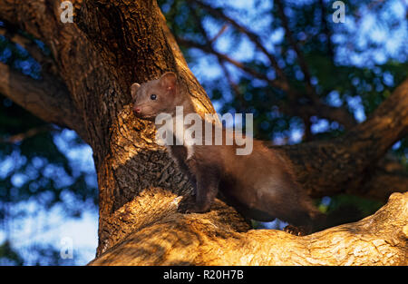 beech marten (Martes foina), also known as the stone marten, house marten or white breasted marten, is a species of marten native to much of Europe - Stock Photo