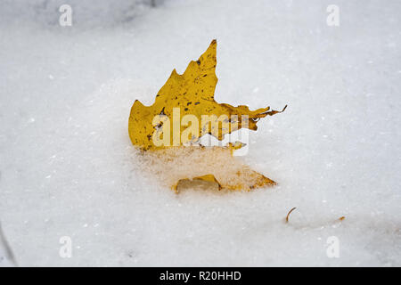 Freshly fallen yellow sugar maple tree leaf in the first snow of the year. - Stock Photo