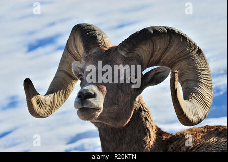 A portrait of a male rocky mountain bighorn sheep 'Ovis canadensis', in rural Alberta Canada - Stock Photo