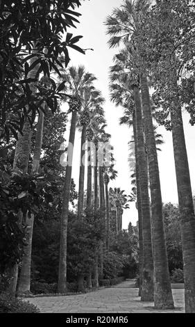 Black and White Image of Palm Trees in Athens Greece - Stock Photo