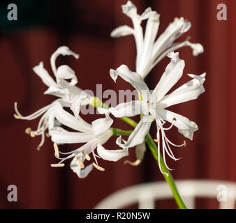 'Alba' Cornish lily, Nymflilja (Nerine Bowdenii) - Stock Photo
