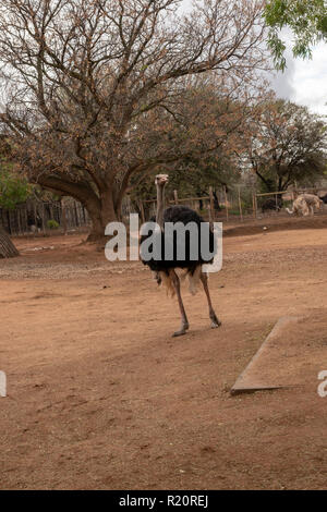 Common Ostrich at Safari Ostrich Farm, Oudtshoorn, South Africa - Stock Photo