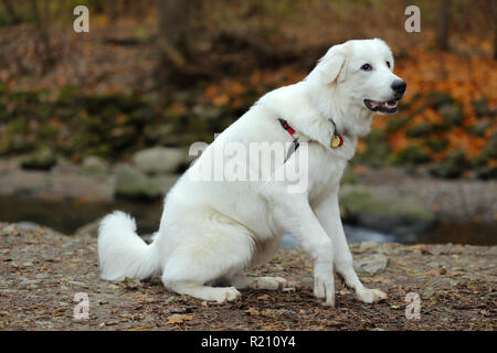 7 months old Great Pyrenees mix - photo taken in November. Sunnybrook Park, Toronto, Ontario, Canada. - Stock Photo