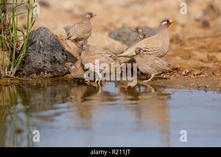 sand partridge  drinking water (Ammoperdix heyi) - Stock Photo