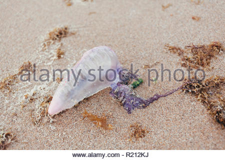 Dead Portuguese man o' war jellyfish (Physalia physalis) washed up lying on a sandy shore beach. Bluebottle on the sand in Brazil - Stock Photo