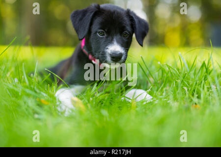 Adorable cute Border Collie puppy laying and watching the grass, blurred bokeh background - Stock Photo