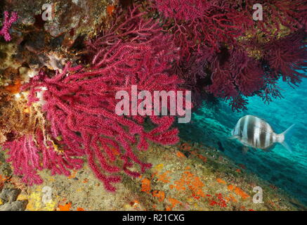 Red gorgonian Paramuricea clavata with a zebra seabream fish underwater Mediterranean sea, Cap de Creus, Costa Brava, Spain - Stock Photo