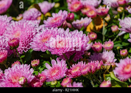 beautiful lilac chrysanthemum flowers with green leaves - Stock Photo