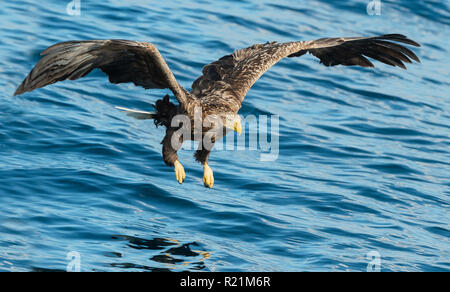 Adult White-tailed eagles fishing. Blue Ocean Background. Scientific name: Haliaeetus albicilla, also known as the ern, erne, gray eagle, Eurasian sea - Stock Photo