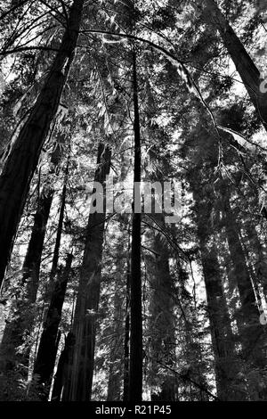 Sun behind Redwood tree in black and white - Stock Photo
