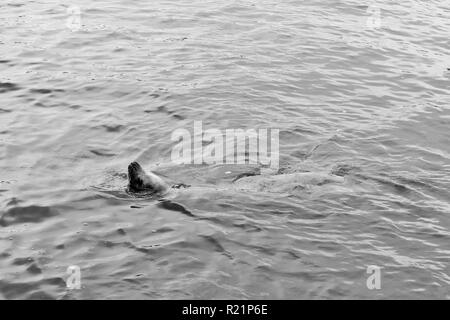 Sea Lion swimming with head out of water in black and white - Stock Photo