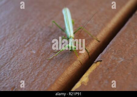 Close Up of Praying Mantis - Stock Photo