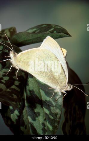 Two Sulphur butterflies, Phoebis sennae, mating on plant, Missouri USA - Stock Photo