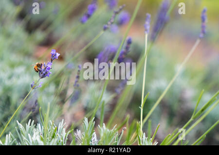 Bee Pollinating at Lavender Farm in Maui, Hawaii - Stock Photo
