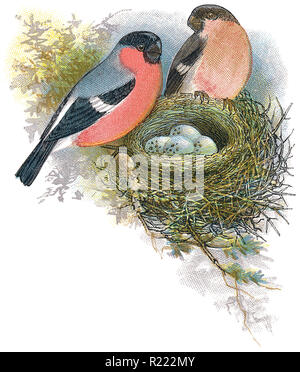 1898 colour engraving of male and female bullfinches (pyrrhula pyrrhula) with nest and eggs. - Stock Photo