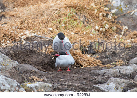 Mating Arctic tern (Sterna paradisaea) in nature. - Stock Photo