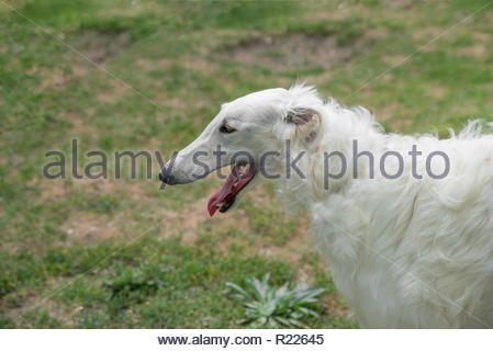 Borzoi Russian white. The Borzoi Russian dog  sitting on the green grass. Selective focus on the dog - Stock Photo