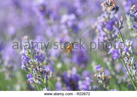 Macro image of Spider on lavender flowers. Note-Selective focus - Stock Photo