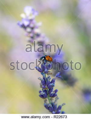 Macro image of Ladybug on lavender flowers. Note-Selective focus - Stock Photo