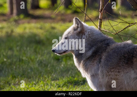 Wolf (Canis lupus), also known as the gray wolf, timber wolf, western wolf - Stock Photo