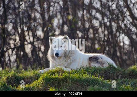 Arctic wolf (Canis lupus arctos), also known as the white wolf or polar wolf, - Stock Photo