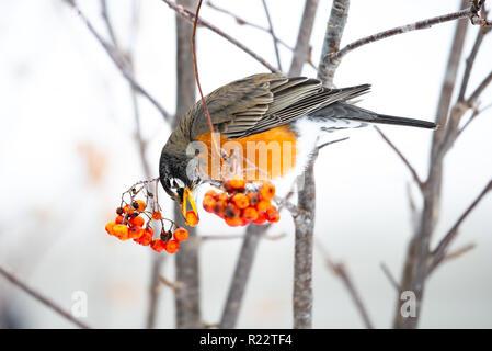 An American robin, Turdus migratorius, feeding on American Mountain-Ash, Sorbus americana, berries in the Adirondacks, NY in a snowy winter.