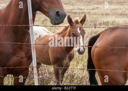 Ka Lae, Hawaii - Horses near South Point, the southernmost point in the United States, on Hawaii's Big Island. - Stock Photo
