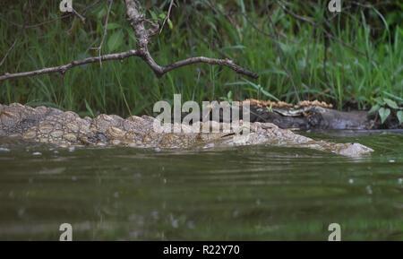 A Nile crocodile (Crocodylus niloticus) rests in the margins of Lake Mburo.  Lake Mburo National Park, Uganda. - Stock Photo