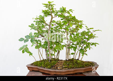 European or Common Beech (Fagus sylvatica) bonsai on a wooden table and white background - Stock Photo