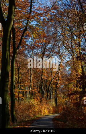 Deciduous forest with Common European Beech trees (Fagus sylvatica) bearing colourful foliage in autumn, Mülheim an der Ruhr, Germany - Stock Photo