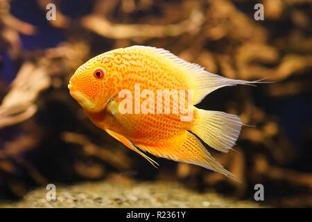 Aquarium fish Cichlasoma severum in aquatic plants. - Stock Photo
