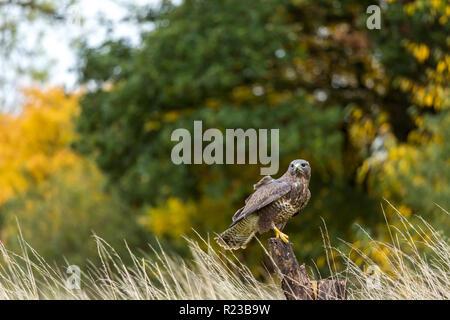 Buzzard perched on tree stump, United Kingdom - Stock Photo