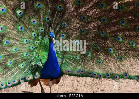 Portrait of an Indian peacock (pavo cristatus) displaying it's tail plumage - Stock Photo