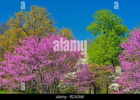 Redbud And Dogwood Trees In Bloom Gettysburg National
