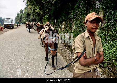 India, Himachal Pradesh, Manali, 08/11/2010: young horseman returns to the stables in the village with his horses - Stock Photo