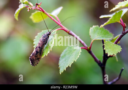 Image of a Caddis Fly (Polycentropodidae) resting on a birch leaf in the wilds of Glen Affric, Scotland - Stock Photo