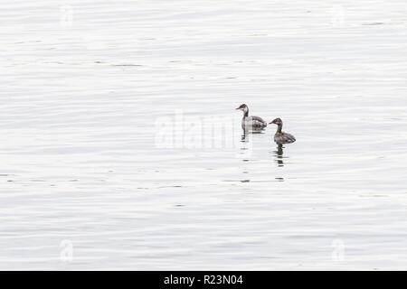 A pair of Horned grebes (Slavonian grebes) in non-breeding plumage swimming in open water at Stanley Park,Vancouver City,British Columbia,Canada - Stock Photo