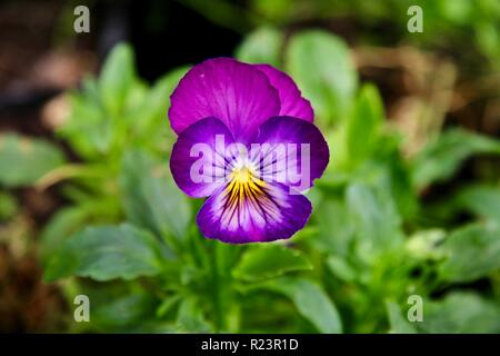 A lone deep pink and purple violet flower in a garden - Stock Photo