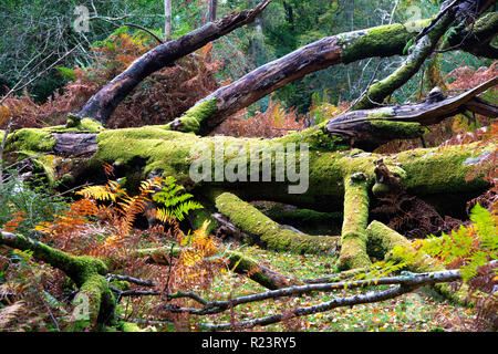 Old moss covered tree fallen to the ground in the New Forest National Park, Hampshire, UK, England - Stock Photo