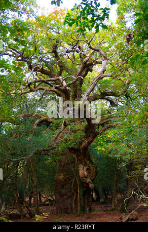 The ancient Gritnam Oak tree with a girth of 8 metres in early autumn - New Forest National Park, Hampshire, England, UK - Stock Photo
