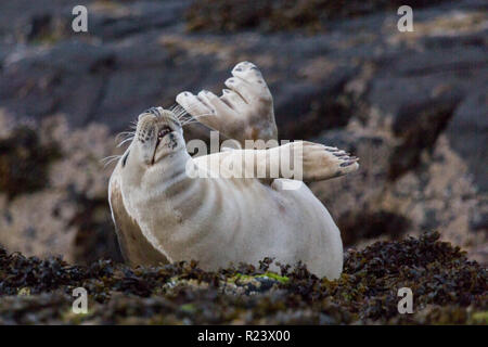 Young grey seal having a stretch with it's flippers in the air, on a rocky outcrop at the Farne Islands off the coast of Northumberland, England. - Stock Photo