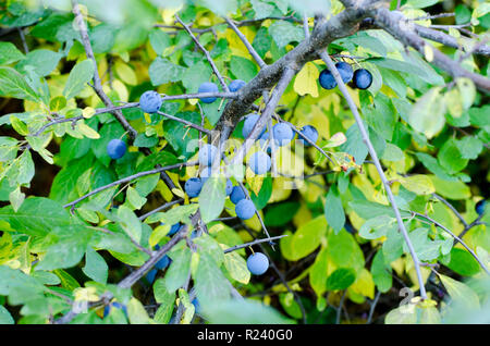 Prunus spinosa, also called blackthorn or sloe, on a branch during autumn - Stock Photo