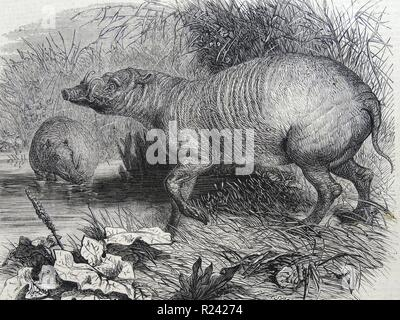 Engraving depicting the Barbarossa, a recent addition to the Zoological Society's Gardens, Regent's Park, London. Dated 1860 - Stock Photo