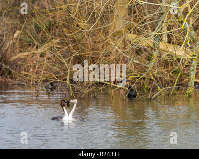 Great Crested Grebe swimming on lake - Stock Photo