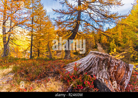 larches forest view in an autumn da in Alpe Devero - Stock Photo