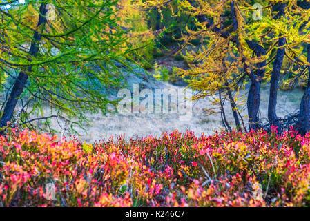 larches forest view in an autumn da in Alpe Devero - Stock Photo