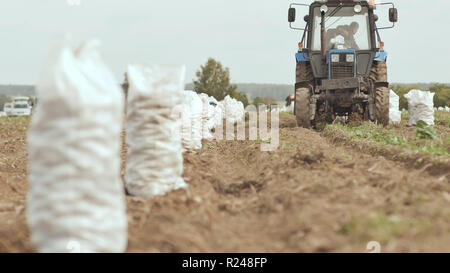 The tractor plows and digs out the carft. White full sacks of potatoes are standing in the field. Harvesting potatoes in the field. - Stock Photo